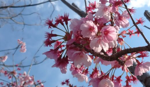 生まれて初めての桜